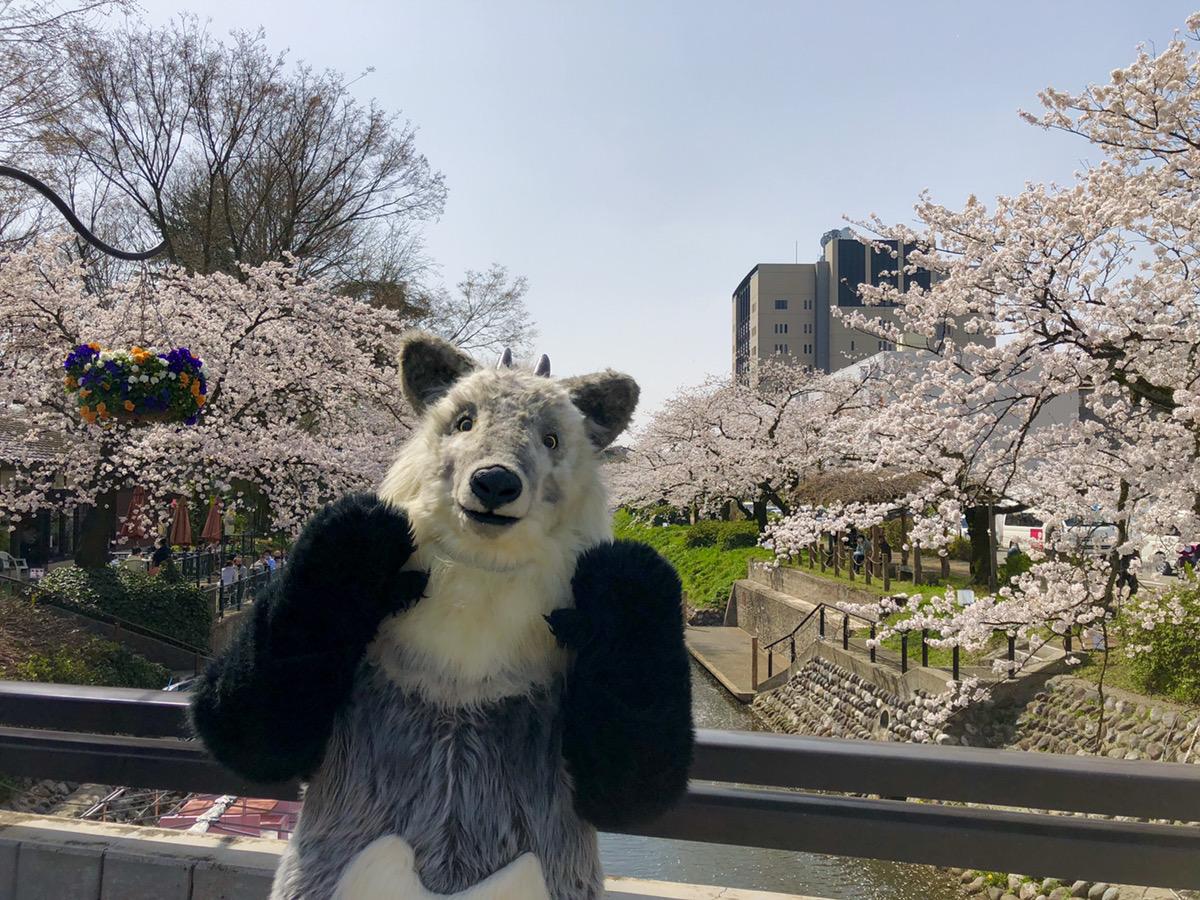 【富山県富山市 松川べりにて】お花見してきたちゃ!